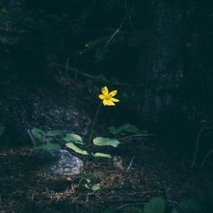 گل ظهور
